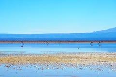 Laguna Chaxa в фламенко Лос национального заповедника Стоковое Фото