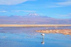 Laguna Chaxa dans les flamenco de visibilité directe de réserve nationale Image stock