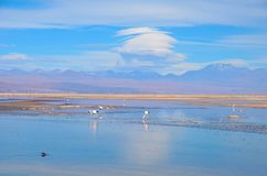 Laguna Chaxa en los flamencos del Los de la reserva nacional Fotos de archivo