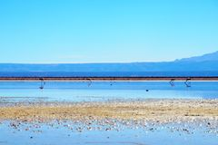 Laguna Chaxa en los flamencos del Los de la reserva nacional Foto de archivo