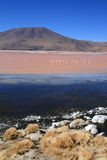 Laguna Colorada in Bolivia with vulcano Stock Image