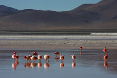 Laguna Colorada Flamingos. Laguna Colorada (Red Lagoon) is a shallow salt lake in the southwest of the altiplano of Bolivia close to the border with Chile Royalty Free Stock Images