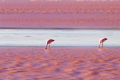 Laguna Colorada flamingos, Bolivia. Puna flamingo. Andean wildlife. Red lagoon Royalty Free Stock Photos