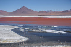 Laguna Colorada with flamingos feeding in Bolivia Royalty Free Stock Image