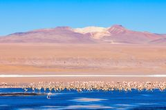 Laguna Colorada lake. Flamingos at Laguna Colorada (Red Lake), it is a salt lake in the Altiplano of Bolivia Stock Image