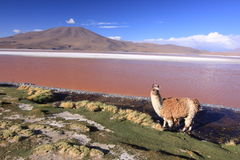 Laguna Colorada and llama. Laguna Colorada in Bolivia, near Uyuni Salt Flat Royalty Free Stock Image
