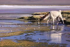Laguna Colorada and llama Stock Image