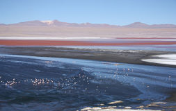 Laguna Colorada med flamingo i Bolivia Royaltyfri Bild