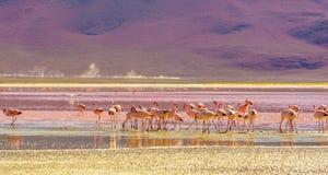 Laguna Colorada met flaminfos in de Andes van Bolivië royalty-vrije stock afbeeldingen
