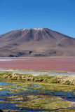 Laguna Colorada Red Lagoon, Bolivia Royalty Free Stock Photo