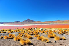 Laguna Colorada. Red Laguna Colorada with Lamas in Bolivia Stock Photo