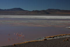 Laguna Colorada shore with flamingos. Laguna Colorada (Red Lagoon) is a shallow salt lake in the southwest of the altiplano of Bolivia, within Eduardo Avaroa Royalty Free Stock Photos