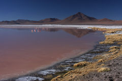 Laguna Colorada shore and flamingos Royalty Free Stock Photos