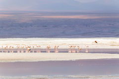 Laguna Colorada, Uyuni, Bolivia. Laguna Colorada, Salar de Uyuni, Bolivia Royalty Free Stock Photo
