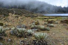 Laguna de Mucubaji湖的花在梅里达,委内瑞拉 免版税图库摄影