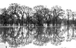 Laguna De Santa Rosa Trees Black and White. Black and white of Laguna De Santa Rosa Trees during flood stage water reflecting trees Royalty Free Stock Image