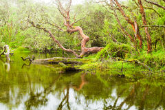 Laguna del bosque de Polylepis Fotos de archivo libres de regalías