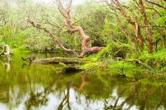 Laguna della foresta di Polylepis Fotografie Stock Libere da Diritti