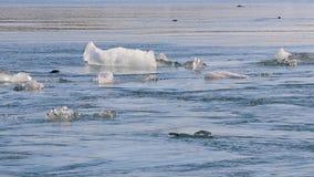 Laguna glaciale Jokulsarlon con le guarnizioni che nuotano archivi video