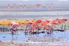 Laguna Hedionda φλαμίγκο, Βολιβία στοκ φωτογραφία με δικαίωμα ελεύθερης χρήσης