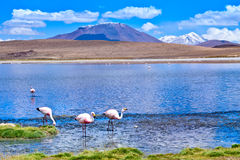 Laguna Hedionda con el flamenco rosado Bolivia Imagen de archivo