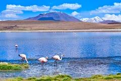 Laguna Hedionda met roze flamingo Bolivië Stock Afbeelding