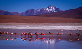 Laguna Kara lagoon with flamingos and reflection of the mountain. Snow peaked mountaims reflect in a blue lagoon where flamingos stand- Eduardo Avaroa Andean Stock Image