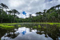 Laguna Los Patos in Huerquehue National Park. Laguna de Los Patos reflecting araucaria trees in lake in Huerquehue National Park on cloudy day Stock Image