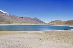 Laguna Miscanti met Vicuna stock foto