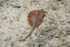 Lagune Ray royalty-vrije stock foto's