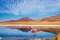 Laguneflamingo Bolivië royalty-vrije stock afbeeldingen