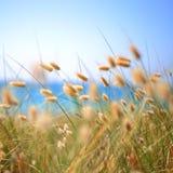Зайчик замыкает траву Lagurus Ovatus Стоковое Фото