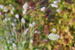 Lagurus växt, slut upp Arkivfoton