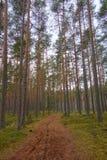 Lahemaa国家公园在早期的春天 杉树森林在与道路审阅他们的,塔林,爱沙尼亚的清早 库存图片