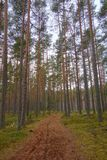 Lahemaa national park in early spring. Pine tree woods in early morning with path going through them, Tallinn, Estonia stock image