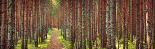 Lahemaa national park forest. In september. Pine tree woods in early morning with path going throuhg Stock Photography