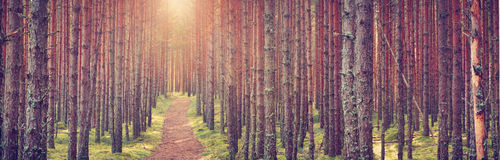 Lahemaa national park forest. In september. Pine tree woods in early morning with path going throuhg Royalty Free Stock Photography