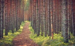 Lahemaa national park forest. In september. Pine tree woods in early morning with path going throuhg Royalty Free Stock Images