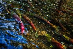 Laichen von Lachsen Stockbilder