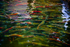 Laichen von Lachsen Stockbild
