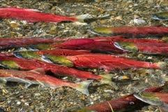 Laichender Rotlachs, Britisch-Columbia, Kanada Stockfoto