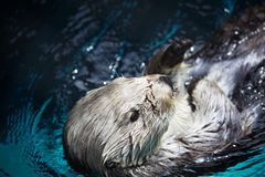 Laid back Sea Otter Royalty Free Stock Photos