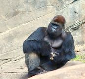 Gorilla chilling on the rocks. Laidback gorilla hanging out Stock Photos