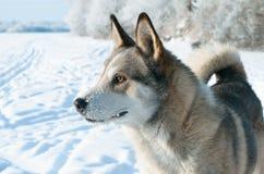 Laika狗。 库存图片