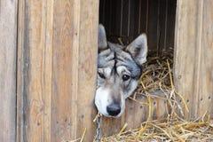 Laika狗画象 聪明的狗 免版税库存图片
