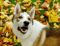 Laika. Royalty Free Stock Photo