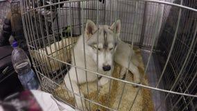 Laika del perro de caza con el dolor que mira al dueño que lo deja en el hotel para los animales almacen de metraje de vídeo