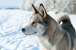 Laika der Hund. Stockbilder