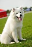Laika dog. White Laika dog on the green field Royalty Free Stock Photography