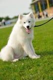 Laika dog. On the green grass Stock Image